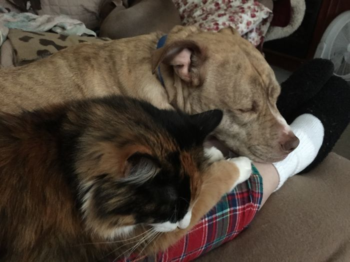 Looks Like Besties But Sergeant (dog) Is Actually Jealous And Slowly Trying To Push Torbie (cat) Off