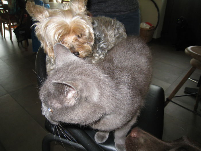 Sirius The Yorkie And Kamoef Sharing A Chair. (and Just The Nose Of Pippa.)
