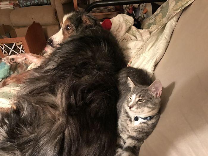 Sophie ( Kitten) With Montego (aussie) Finnegan (kitty) With Montego (aussie) Finding The Softest Place In The House