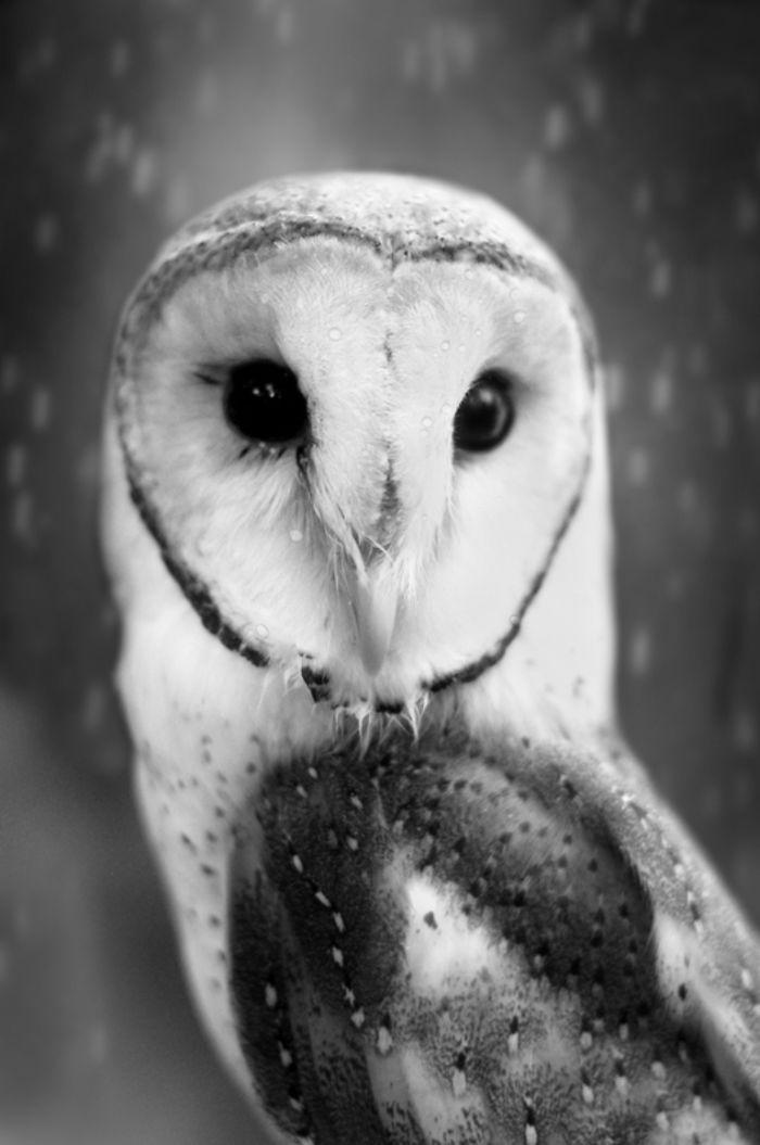 Ethereal Barn Owl