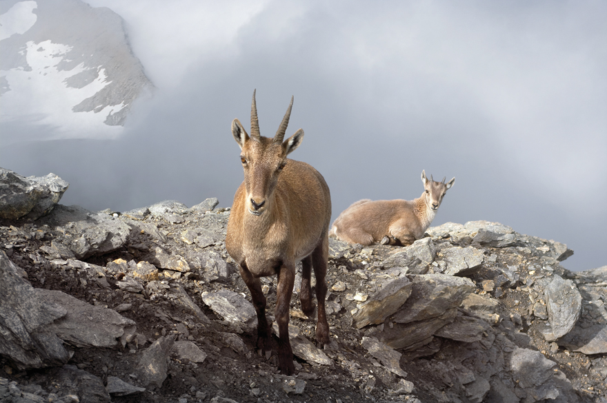 Ibex With Her Cub