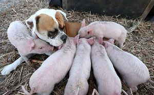 Former Stray Dog Adopts 8 Tiny Pigs And That's The Sweetest Thing You'll See Today