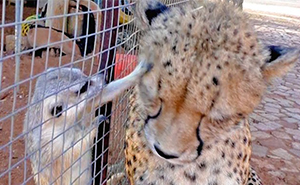 Meerkat Attacks Cheetah, Cheetah Mistakes It For Grooming And Starts To Purr Loudly