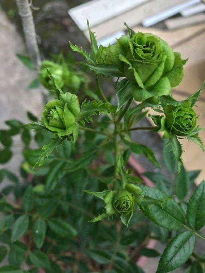 The Only Green Rose In The World!