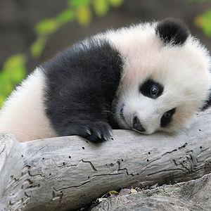 Silly Panda