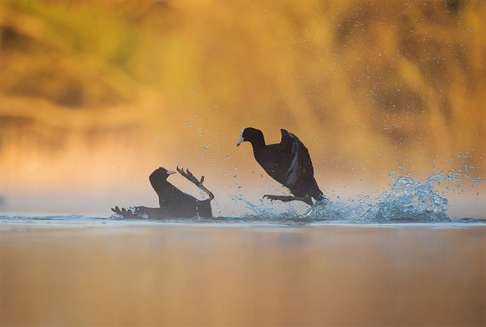 Coots Fighting By Andrew Parkinson, Derbyshire, Uk. Gold Award Winner In The Bird Behaviour Category
