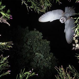 Lechuza Común Planeando Por Roy Rimmer, Categoría Comportamiento De Aves Reino Unido