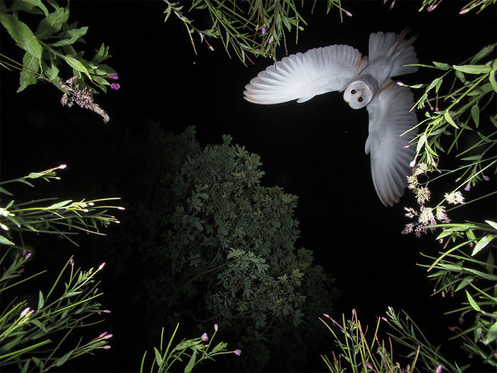 Barn Owl Hovering By Roy Rimmer, UK. Bird Behaviour Category