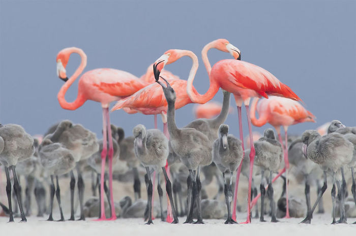Pink Flamingo Feeding Their Young By Alejandro Prieto Rojas, Mexico. Gold Award And Bird Photographer Of The Year 2017 Winner In The Best Portrait Category