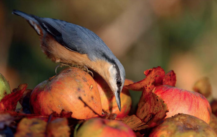 Orhard Nuthatch By Charles Tyler, United Kingdom. Birds In The Garden Category