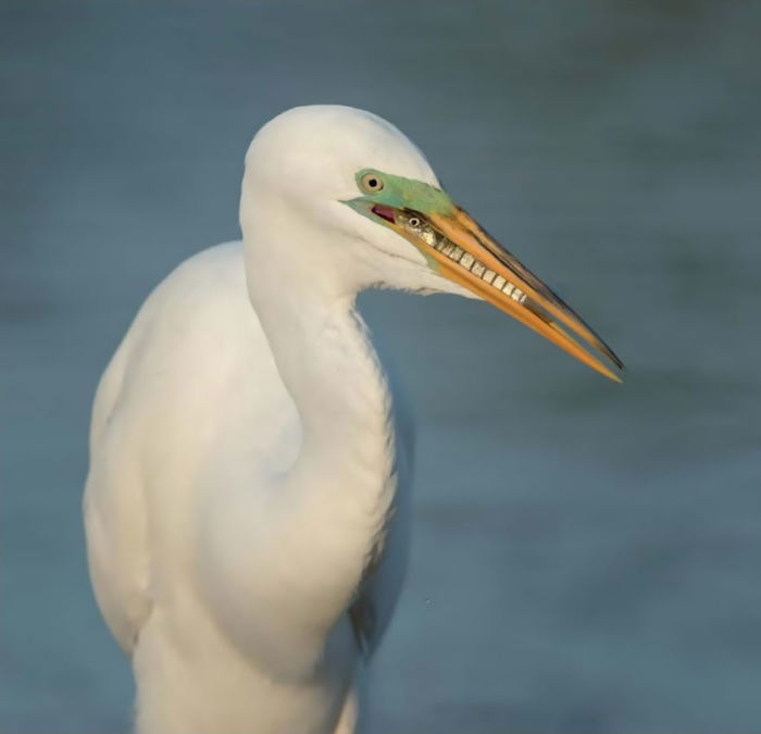 Breakfast, Great Egret By Cheryl Schneider, Usa. Attention To Detail Category