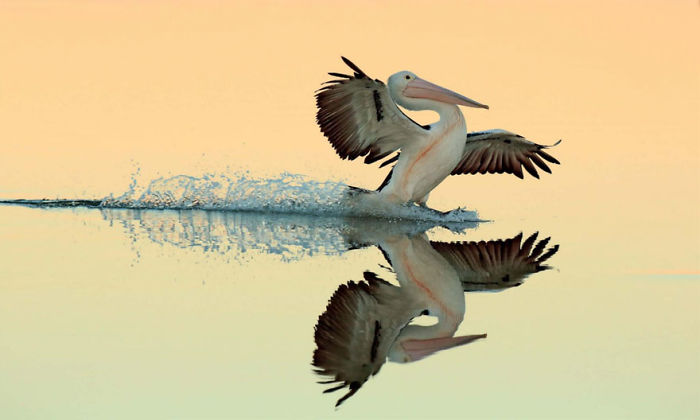A Perfect Landing, Australian Pelican By Bret Charman, Australia. Gold Award Winner In Birds In Flight Category