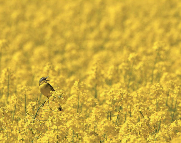Lavandera De Cabeza Azul En Amarillo Por Robert Szafranek, Polonia. Categoría Pájaros En El Ambiente