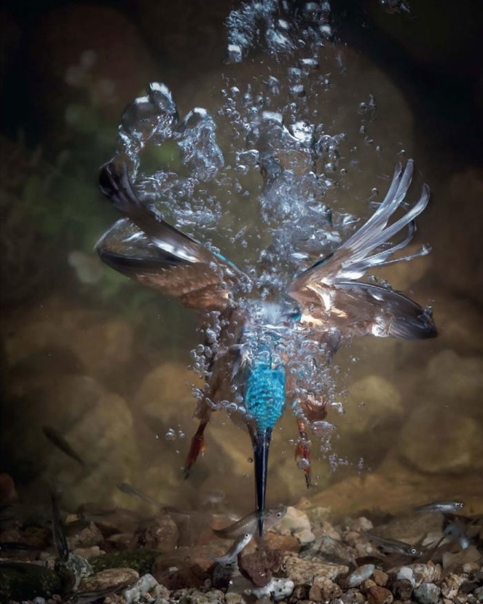 I Lost My Mom, Common Kingfisher By Fahad Al-enezi, Spain. Bird Behaviour Category