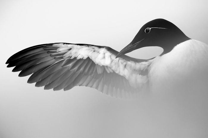 Guillemot Stretching Wing By Marc Weber. Silver In Best Portrait Category