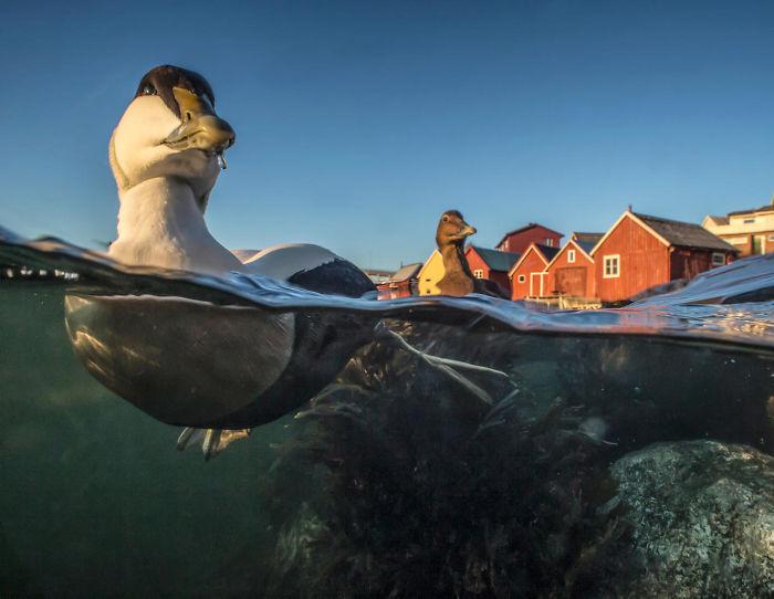 Eider Nadando Por Pål Hermansen. Bronce En La Categoría Mejor Retrato