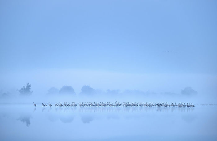 Crane Flock Misty Lake By Piotr Chara. Silver In Birds In The Environment Category