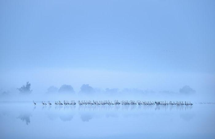 Bandada De Grullas Lago Neblinoso Por Piotr Chara. Plata En La Categoría Pájaros En El Ambiente