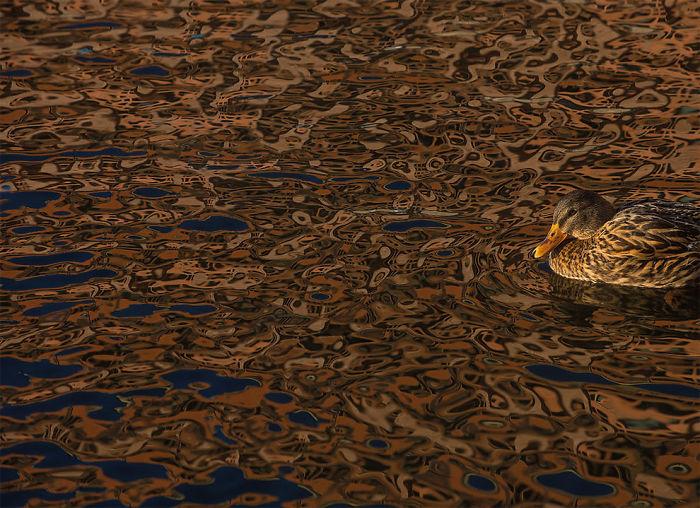 Camuflaje Por Daniel Stenberg, Suecia. Mención De Honor En La Categoría Pájaros En El Ambiente