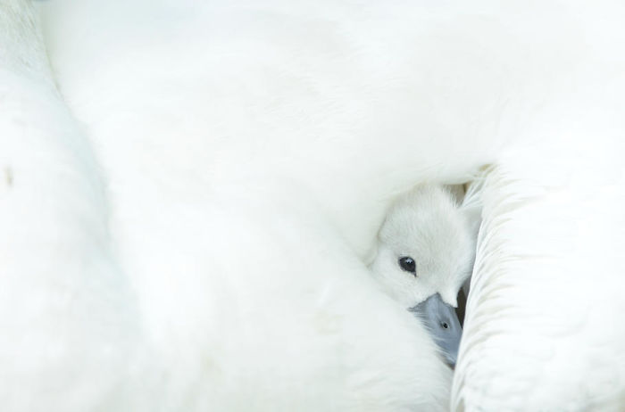 Snuggling Cygnet By Ben Andrew. Honourable Mention In Attention To Detail Category