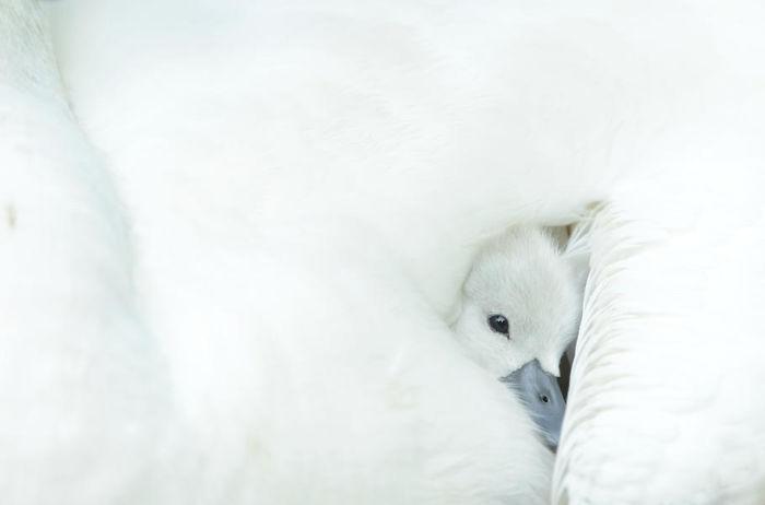 Cría De Cisne Acurrucada Por Ben Andrew. Mención De Honor En La Categoría Atención Al Detalle