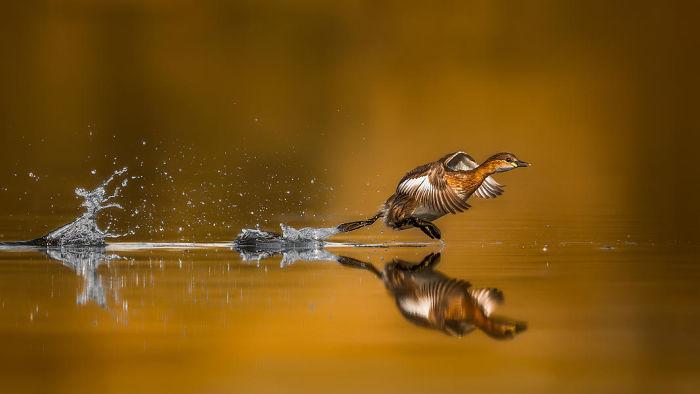 Pequeño Somormujo Despegando Por Faisal Alnomas. Mención De Honor En La Categoría Comportamiento De Aves