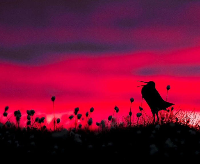 Great Snipe Silhouette By Torsten Green-Petersen. Honourable Mention In Bird Behaviour Category
