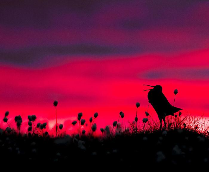 Silueta De Agachadiza Real Por Torsten Green-Petersen. Mención De Honor En La Categoría Comportamiento De Aves