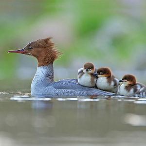 Serreta Y Camada Por Jonathan Gaunt, Reino Unido. Categoría Comportamiento De Aves