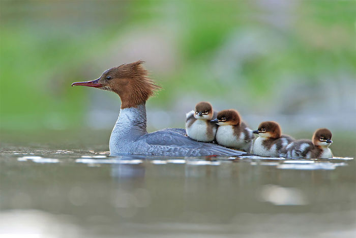 Goosander And Brood By Jonathan Gaunt, UK. Bird Behaviour Category