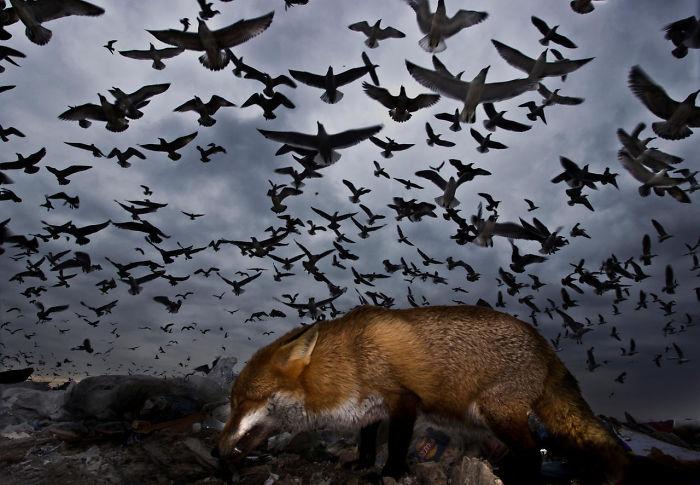 Gaviotas Y Zorro Por Gabor Kapus. Mención De Honor En La Categoría Pájaros Al Vuelo