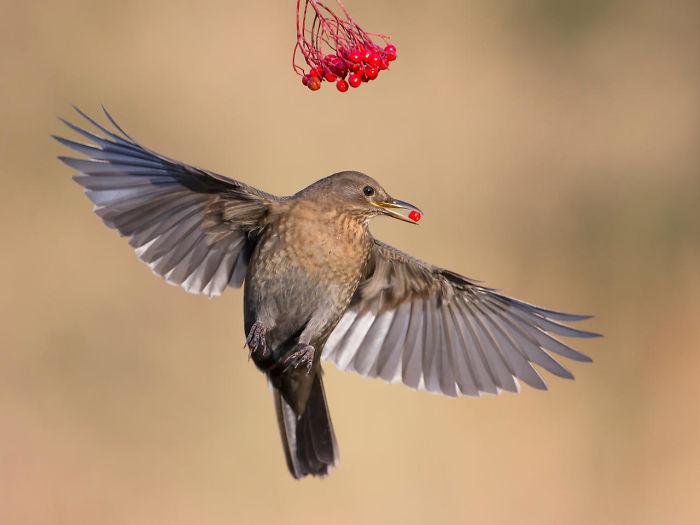 Mirlo Cogiendo Bayas Por Roy Rimmer. Mención De Honor En La Categoría Pájaros En El Jardín