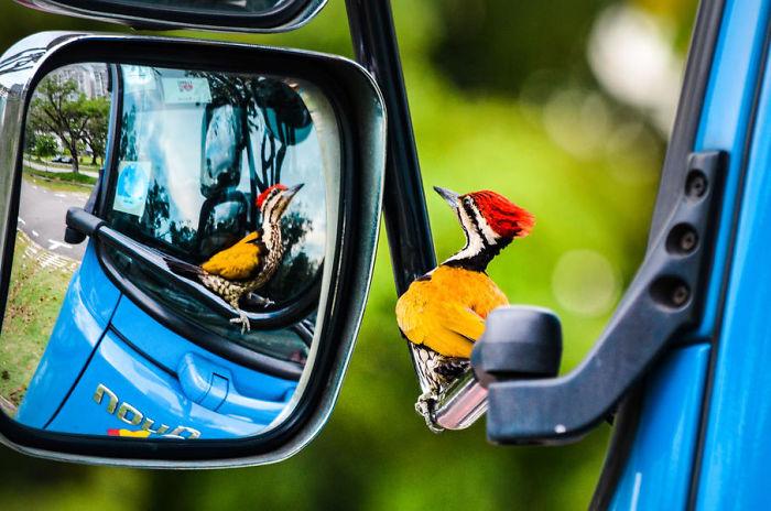 Pájaro Carpintero En Espejo De Coche Por Kelvin Dao. Mención De Honor En La Categoría Pájaros En El Jardín
