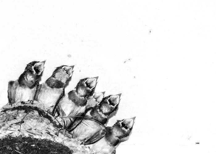 Polluelos De Golondrina En Nido Por Joseph Anthony. Mención De Honor En La Categoría Imágenes Creativas