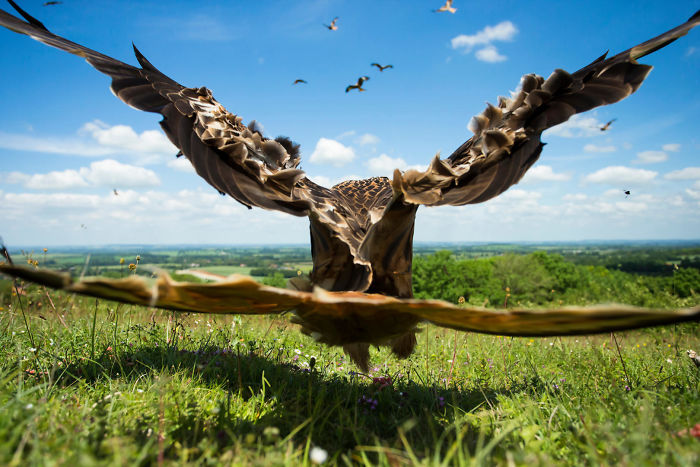Wide-angle Kite, Red Kite By Jamie Hall, United Kingdom. Birds In Flight Category
