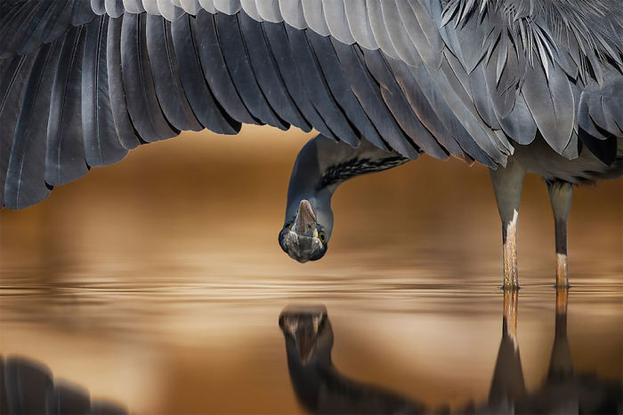 Grey Heron, Ahmad Al-essa, Kuwait. Silver Award Winner In The Attention To Detail Category