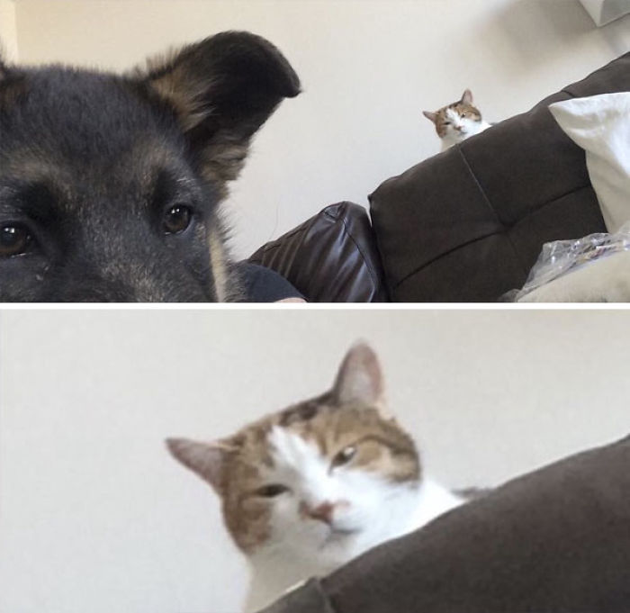 Friend Just Got A German Shepard Puppy. Asked How Her Cat Is Getting Along With Him, And Was Sent This Pic
