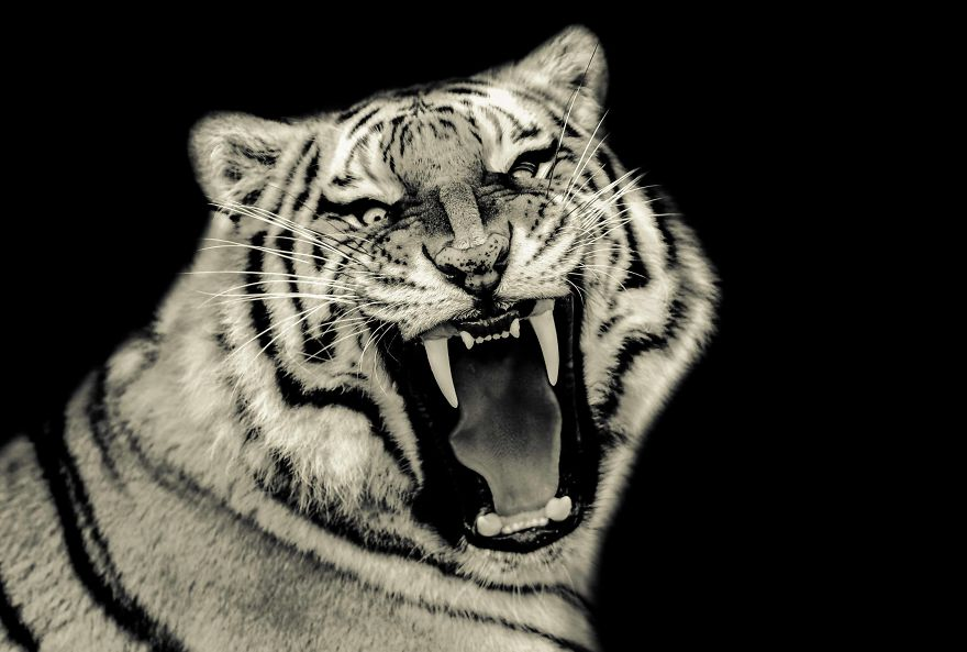 I Photograph Big Cats Roaring