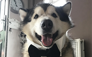 Guy Makes His Malamute A Tinder Profile And The Conversations Are Hilarious