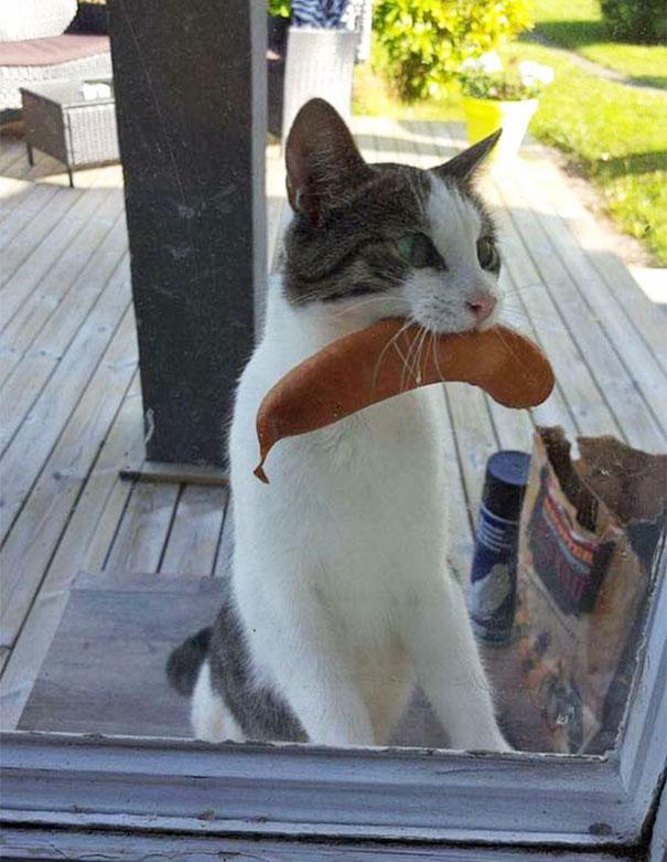 Il gatto ritorna con salsiccia rubata dal bbq di un vicino sconosciuto
