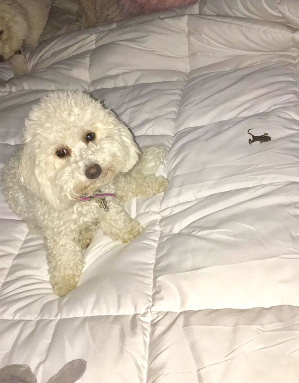 """Get A Dog"" They Said, ""It'll Be Fun"" They Said Yes That's A Dead Frog That Paisley Brought Onto My Bed For Me"