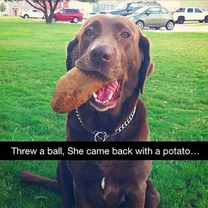 She's A Retriever, Not A Genius