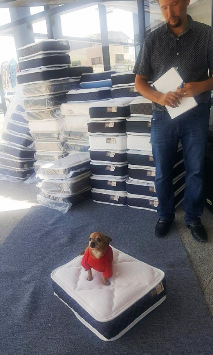 Local Mattress Store Gives You A Mini Mattress For Your Doggie When Buying A Regular One