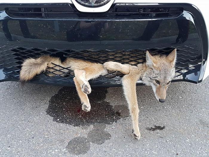 hit-coyote-car-rescue-georgie-knox-1
