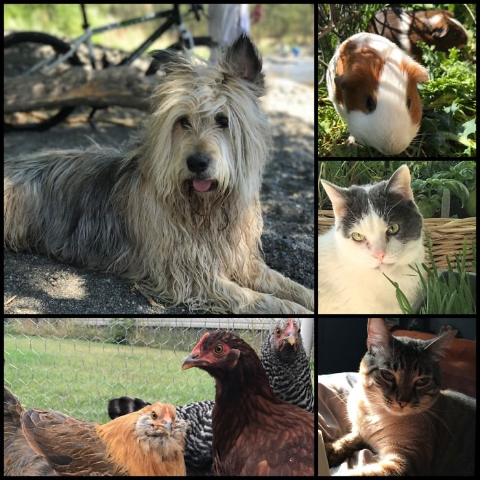 One Dog, Two Guinea Pigs, Two Cats, Four Chickens, And A Partridge In A Pear Tree.