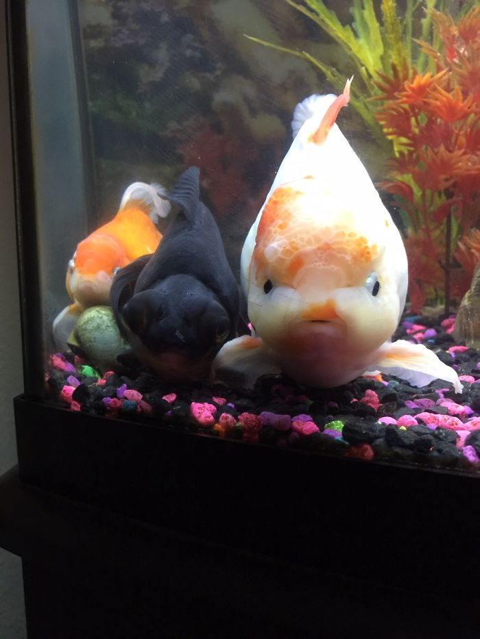 Not Your Typical Pet, But I Love My Goldfish More Than I Thought Possible.
