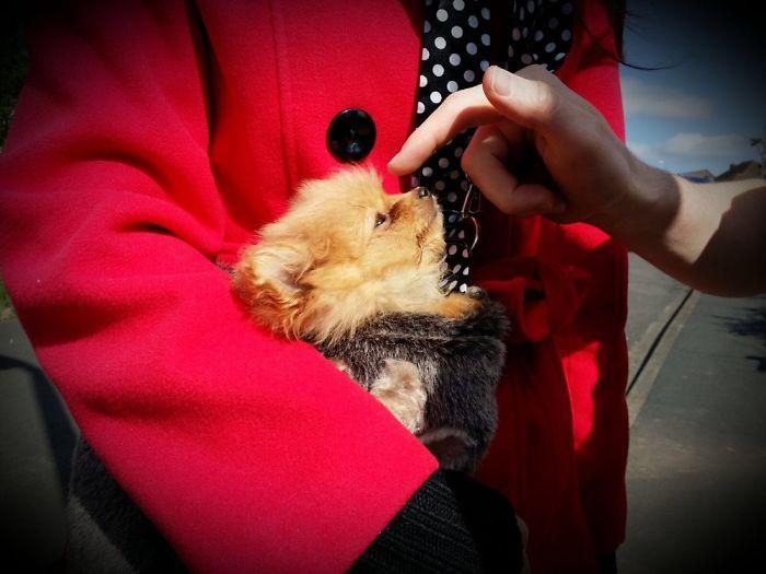 Bringing Our Pomeranian Home