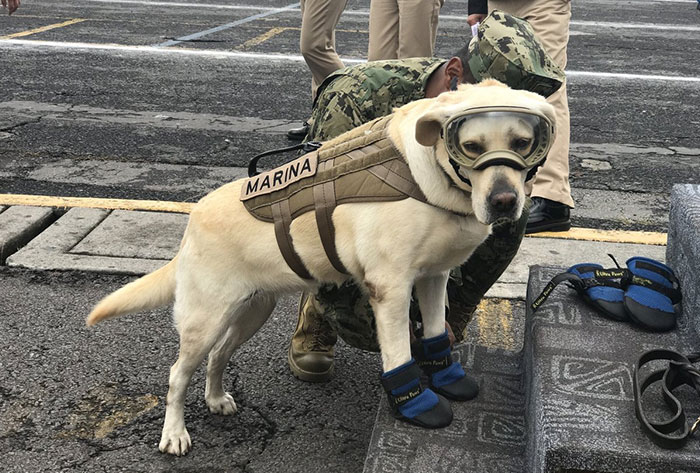 Badass Rescue Dog Who Has Rescued 52 Lives Is Now Saving People Affected By Mexico Earthquake