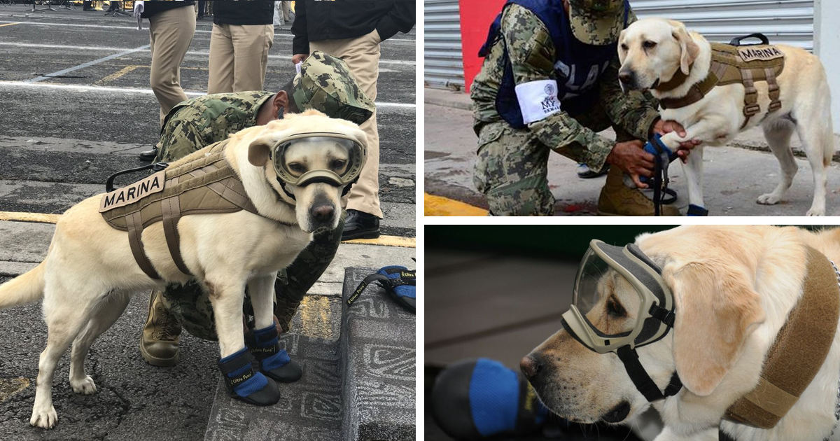 Badass Rescue Dog Who Has Rescued 52 Lives Is Now Saving People Affected By Mexico Earthquake   Bored Panda