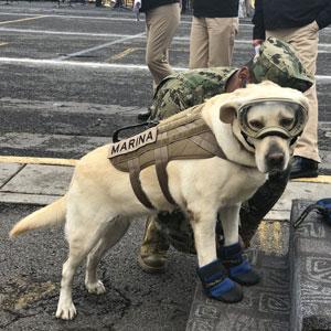 Este extraordinario perro rescatista salva a personas afectadas por el terremoto de México, ya ha salvado 52 vidas